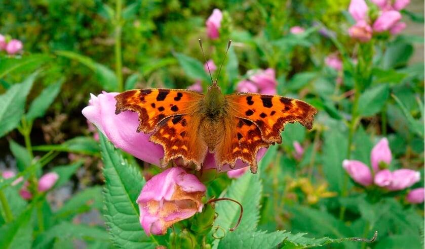 <p>IVN Geijsteren-Venray houdt een vlinderexcursie in de Diepeling.</p>