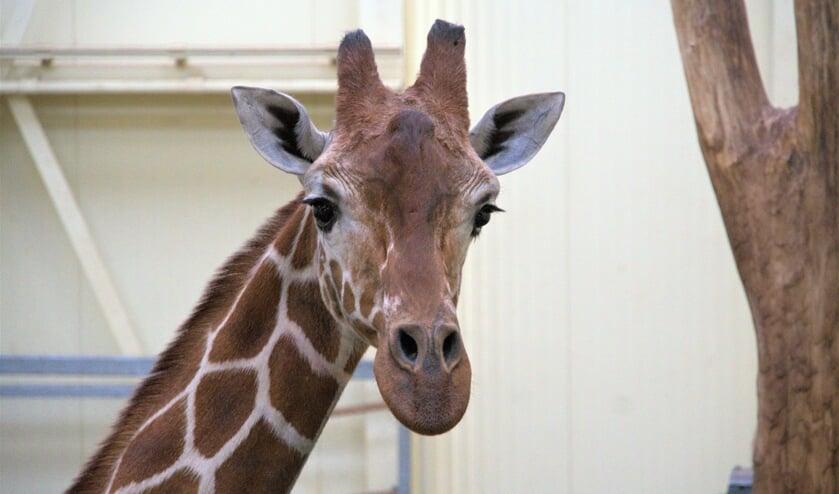 <p>Giraffe Dhakija in haar nieuwe verblijf. </p>