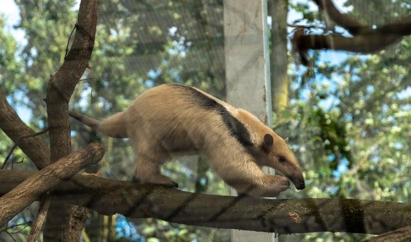 <p>Een tamandua, een boommiereneter </p>