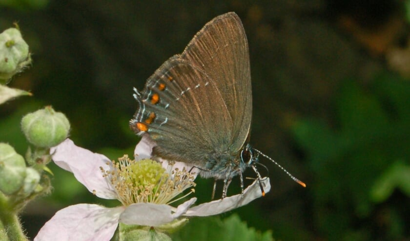 <p>De bruine eikenpage is familie van de blauwtjes en behoort tot de dagvlinders. </p>