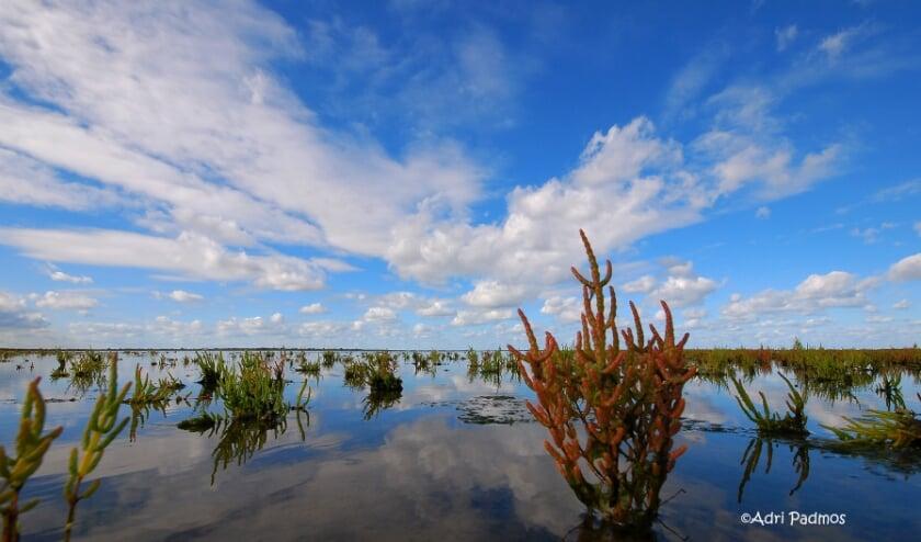 Zeekraal in slikken Grevelingen (Foto: Adri Padmos).