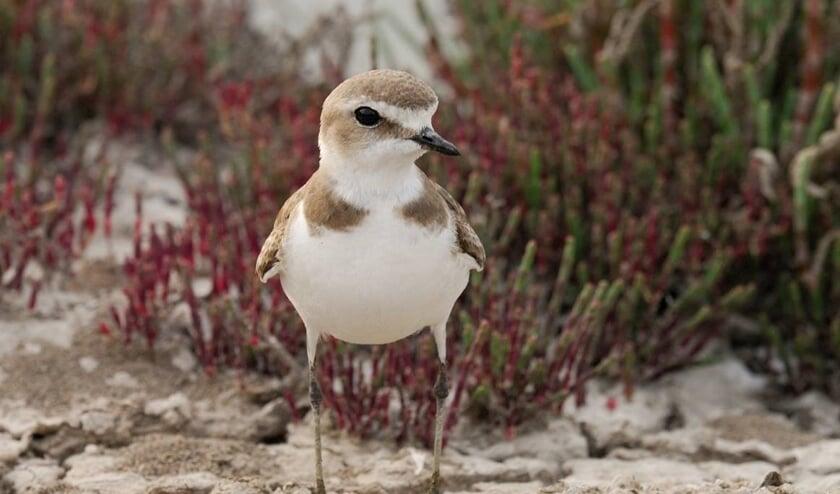 De strandplevier. Foto: Mark Hoekstein van Deltamilieu Projecten.