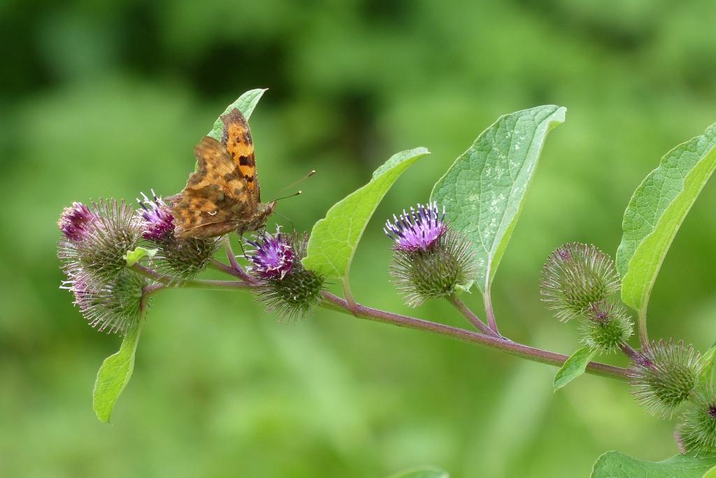 Vlinder op gehakkelde aurelia. (Foto: Toos Brink) © rodi