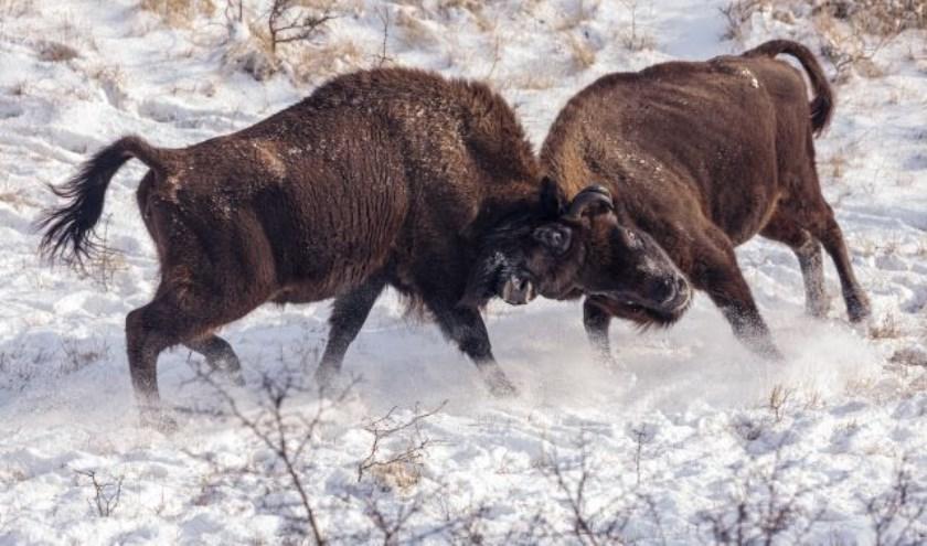 Vechtende wisenten in de sneeuw.