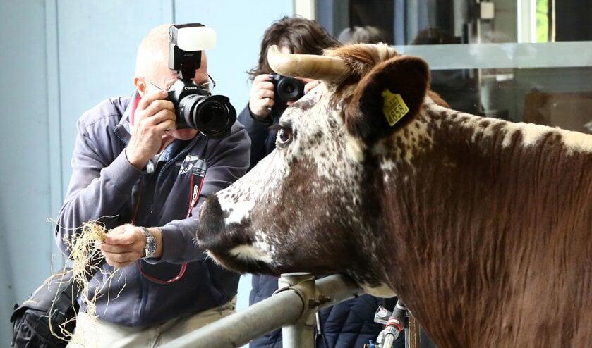 Koeien fotograferen in het Rundveemuseum.