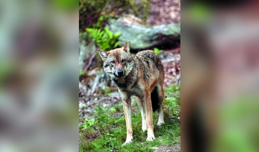 Of de wolf ook hetduingebied van Castricum zal bereiken, daar zijn de meningen nog over verdeeld.