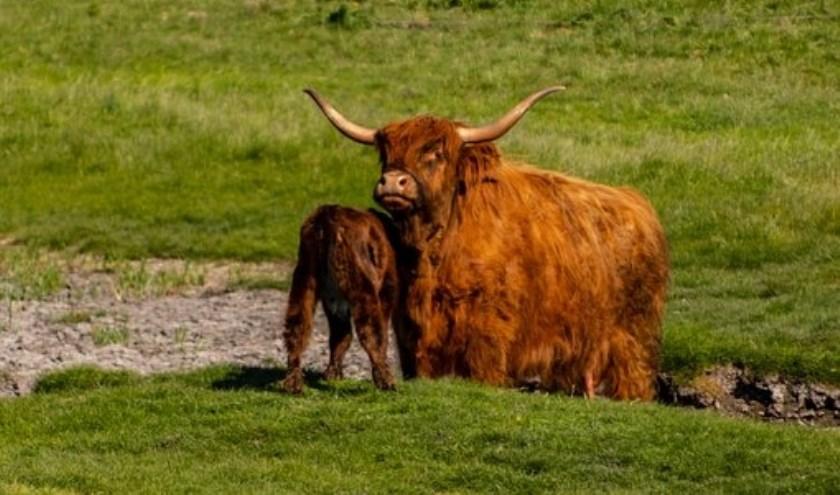 Ook de Schotse Hooglanders hebben graag rust om zich heen.