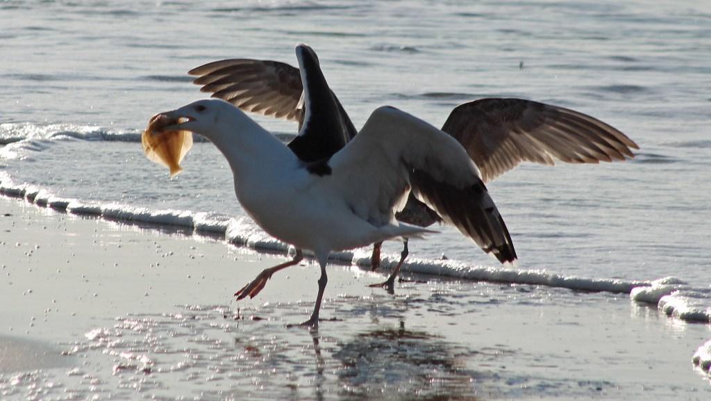 Meeuwen die vechten om een visje (Foto: Sjef Kenniphaas) © rodi