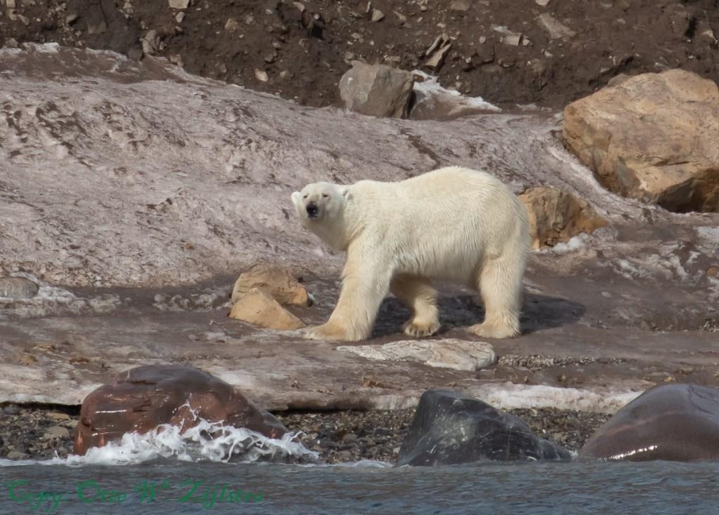Deze ijsbeer is nieuwsgierig naar de bezoekers.  © rodi