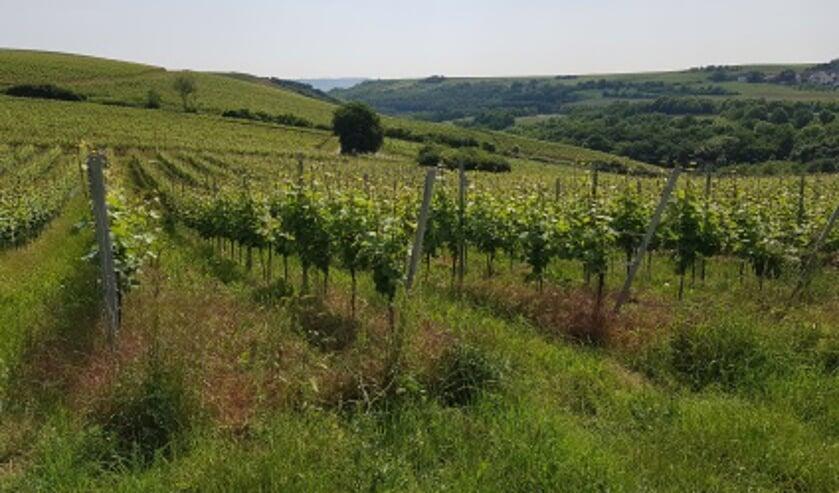 Het hele proces van wijnproductie van wijngaard via de kelder tot de fles in de winkel wordt behandeld.