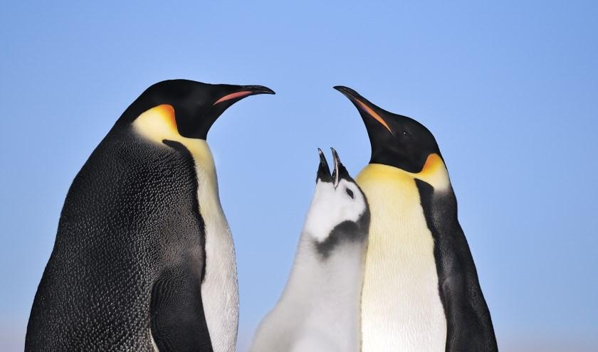 Fotograaf Jan Vermeer reist over de hele wereld en maakt ook deze foto van pinguins.