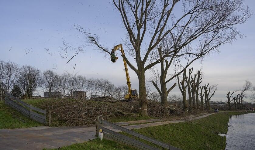 De laatste boom op de Geniedijk wordt een 'kopje kleiner' gemaakt.