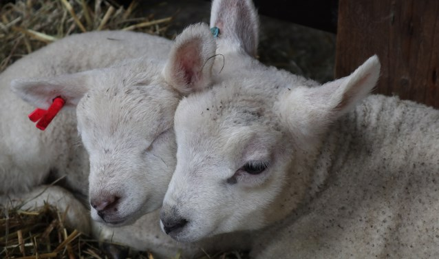 Bijna 100 lammetjes geboren op boerderij de StadsHoeve.