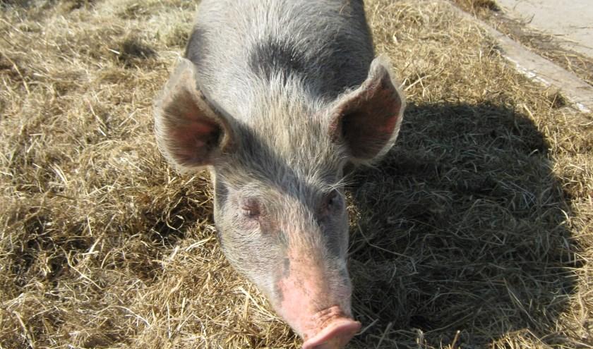 Kinderen kunnen onder andere de varkens voeren tijdens de boerensafari.