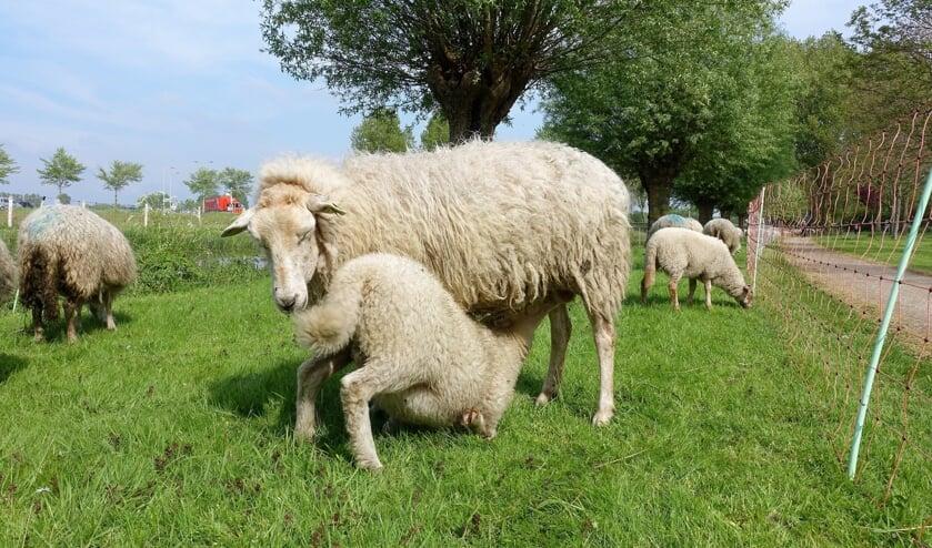 Op 23 mei is er weer een schapenkudde in Castricum.