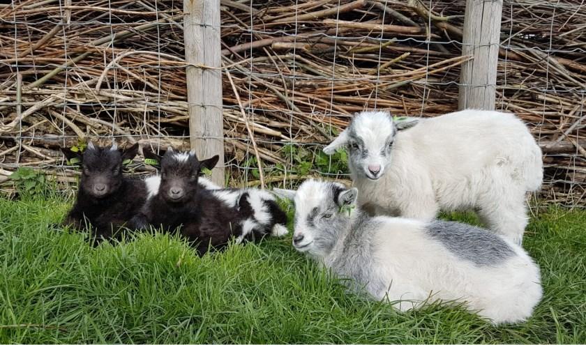 Na het voorlezen gaan de kinderen op bezoek bij de lammetjes en kleine geitjes.