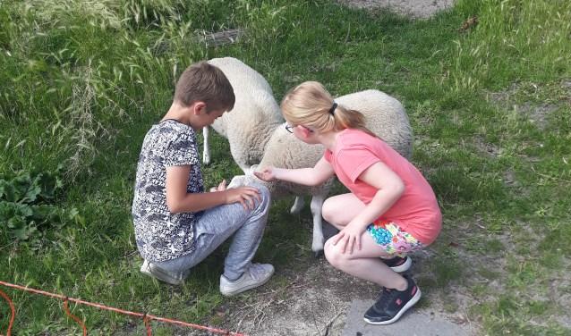 Een schaap wordt door twee leerlingen onderhouden.