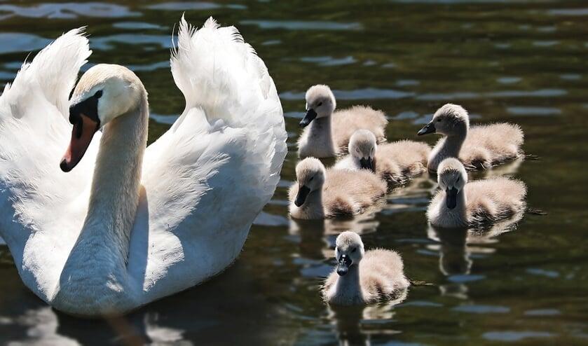 Een jonge zwanenfamilie. De pulletjes worden op dit moment vaak gestolen.