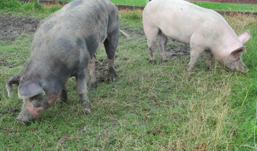 Het buitenverblijf van de varkens is in juli uitgebreid. Ze hebben nu meer ruimte om te scharrelen.