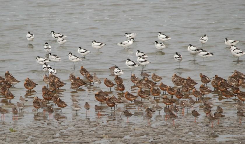 Gemengde groep trekvogels op Balgzand