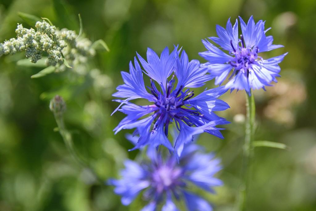 De bloemen staat in bloei in de Plesmanhoek.  (Foto: Kees van der Veer Hoofddorp) © rodi