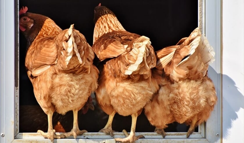 Met de kippen op stok.