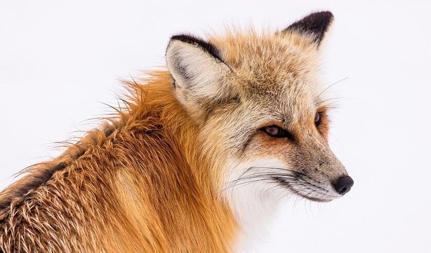In de Schaapskooi van Bergen is een tentoonstelling over de vos te zien.
