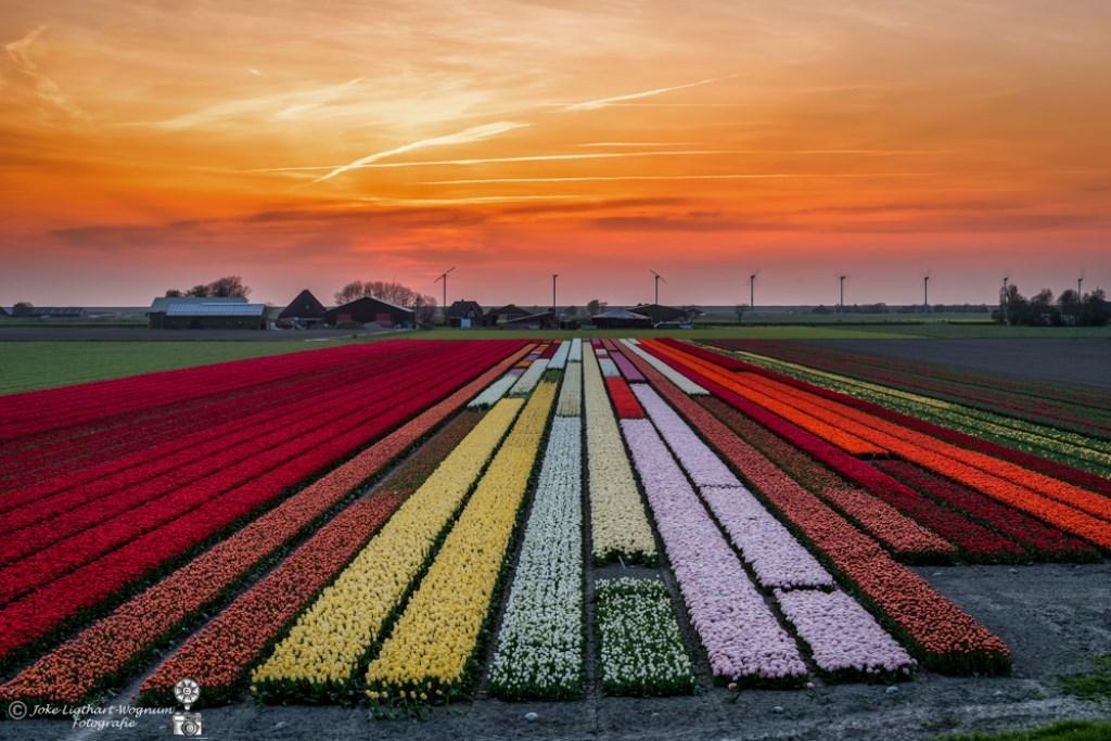Tulpenvelden bij avondrood (Foto: Joke Ligthart-Wognum) © rodi