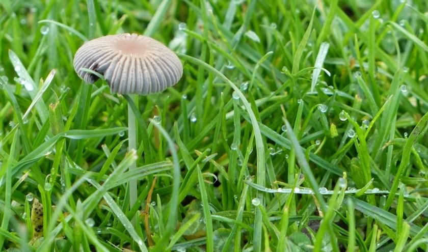 Plooirokje is een paddensteol uit de familie Psathyrellaceae.
