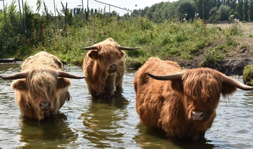 De Schotse Hooglanders in Onderdijk zijn op de kiek gezet door Melissa uit Avenhorn.