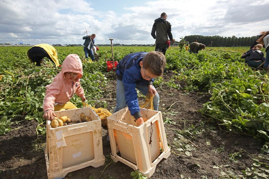 Bakken vol aardappelen worden gerooid.  (Foto: Rowin van Diest) © rodi