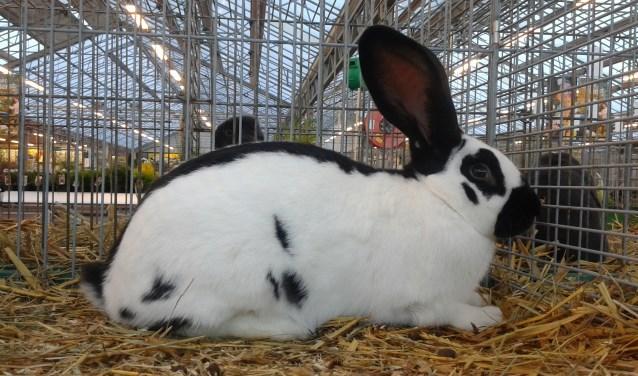 Eén van de konijnenrassen tentoongesteld.