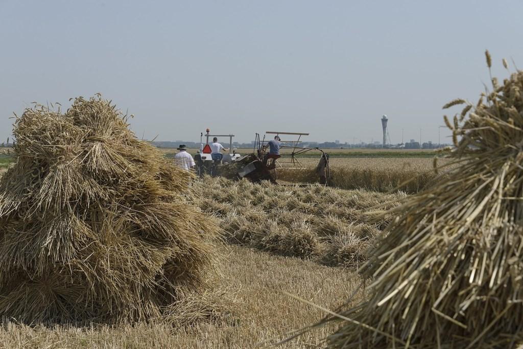 Het maaien van koren.  (Foto: Kees van der Veer Hoofddorp) © rodi