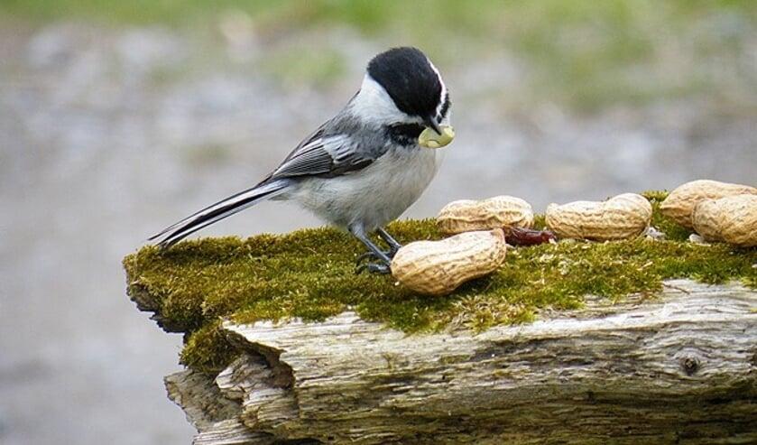 Welke vogels leven er in de tuin?
