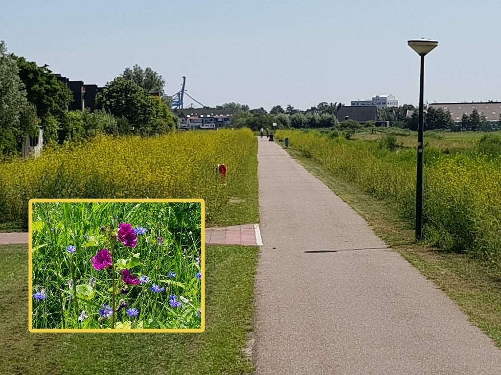 <p>De groenstroken van het Westerwindpad stond afgelopen zomer uitbundig in de bloei door de bloemenlinten.&nbsp;</p>  © rodi
