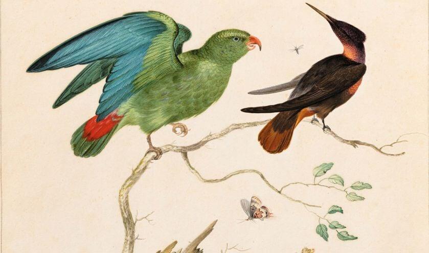 De levendige afbeelding van de exotische vogel laat zien hoe nieuwsgierig mensen in de zeventiende eeuw waren naar wat er buiten hun eigen blikveld te zien was.