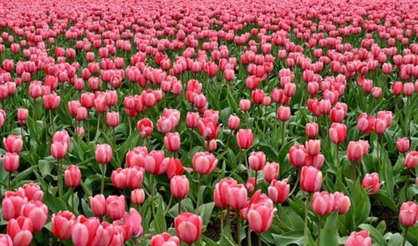 De handelsbedrijven verwachten dat ze te maken krijgen met schade als gevolg van annuleringen door hun afnemers, non-betaling van uitgeleverde orders én een inkooprisico van met name tulpen.