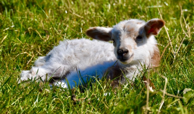 Ga op kraamvisite bij de lammetjes in de schapen- en geitenweide.