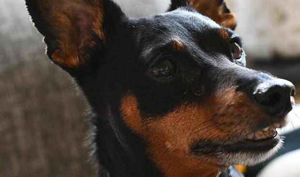 Afschaffing hondenbelasting in Zaanstad van de baan.