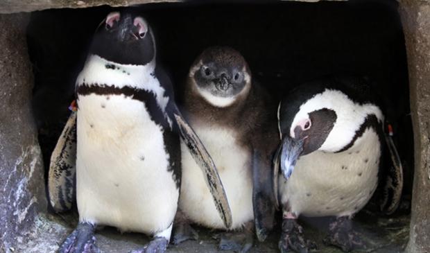 Afrikaanse pinguïns en kuiken.