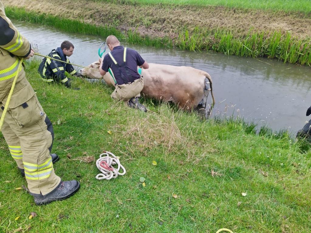Voorbereidingen worden getroffen om de koe op het land te brengen. (Foto: Theo Annes) © rodi
