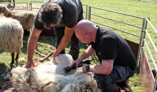 De schapen worden van hun dikke jas ontdaan.
