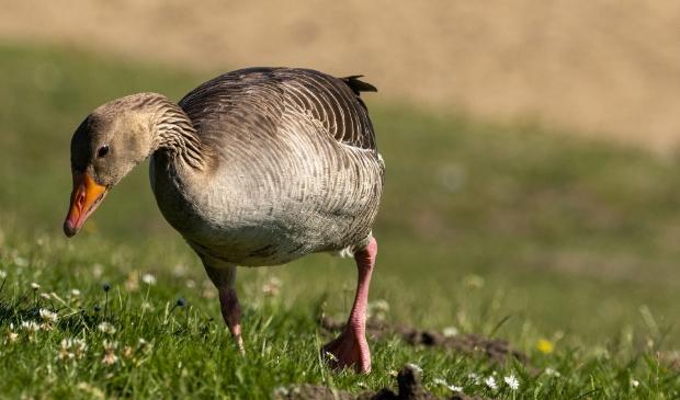 Wilde ganzen bezorgen agrariërs heel wat hoofdpijn.
