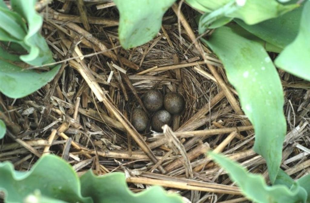 Nest tussen de tulpen. (Foto: aangeleverd) © rodi