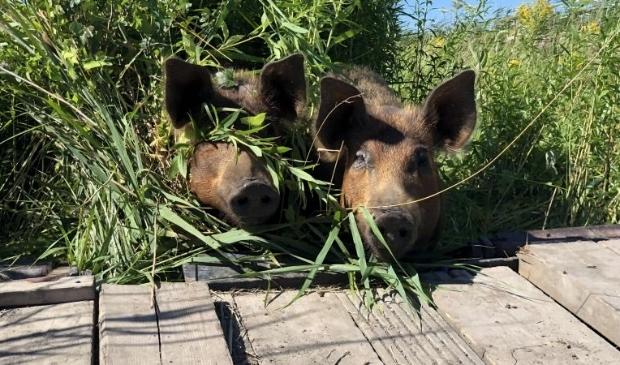 Per schuit worden varkens Patty en Brard verplaatst naar de volgende akker.