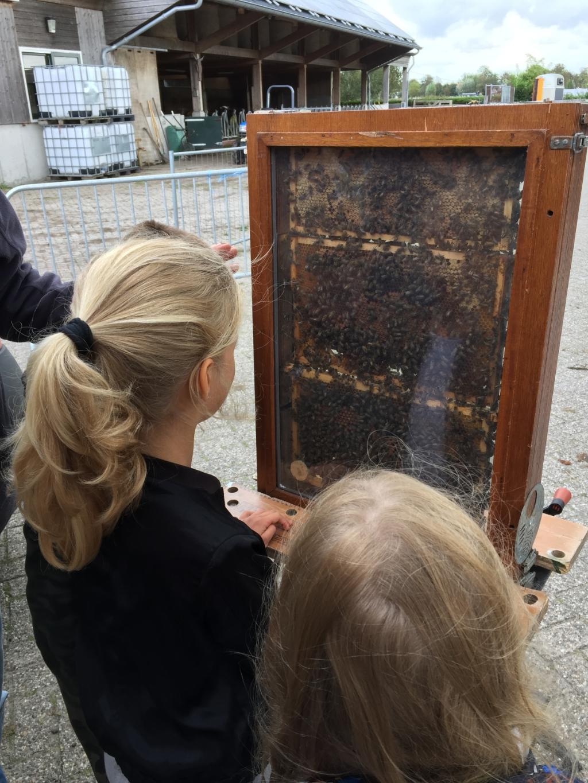 <p>Speuren naar bijen in de observatiekast.</p> ((Foto: Aangeleverd)) © rodi
