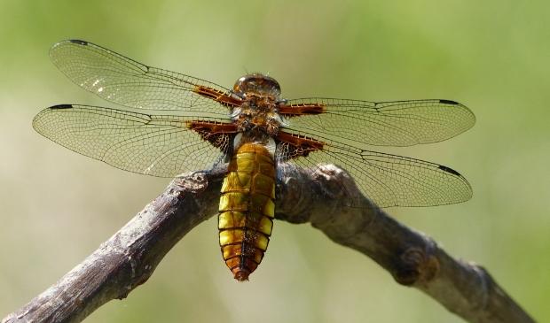 Hoe zit het met de transformatie van larve tot libelle?