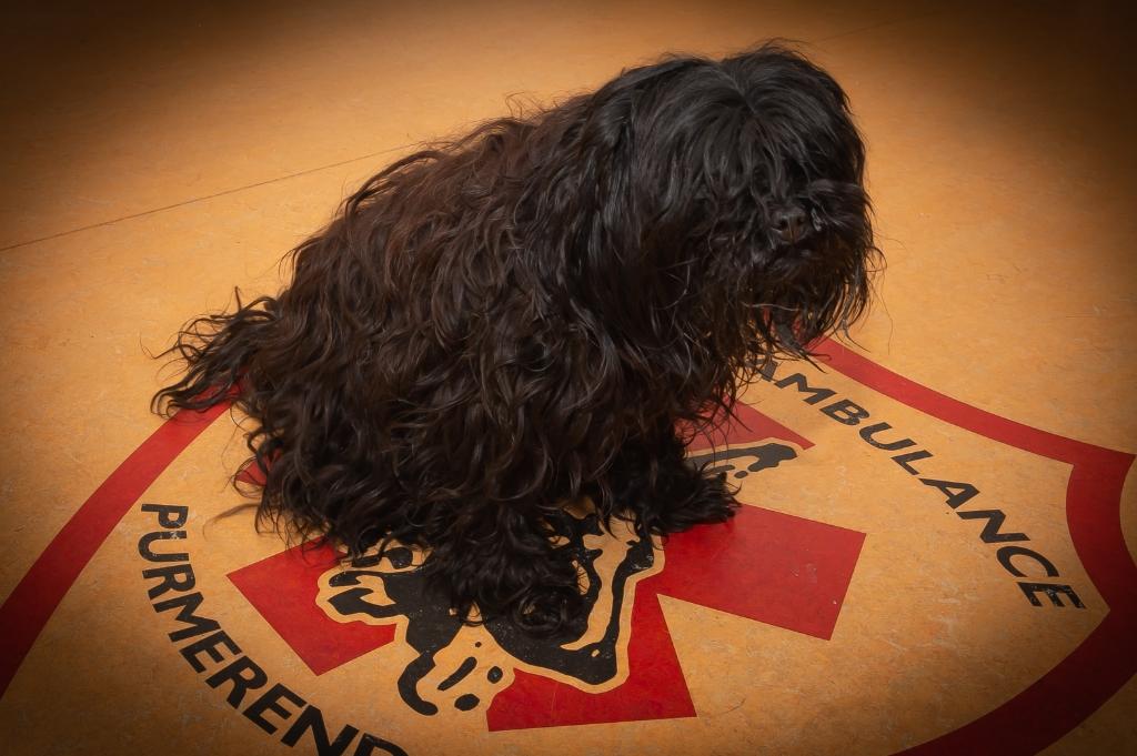 Pubbles, de enige 'kadaverdog' in Nederland .. (Foto: Han Giskes) © rodi