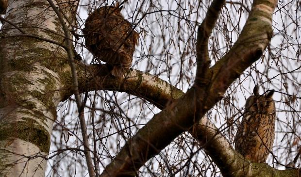 <p>Twee Ransuilen zaten samen gezellig in een boom.&nbsp;</p>