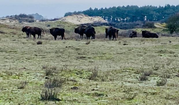 <p>Bizons/Wisenten in Nationaal Park Zuid-Kennemerland.</p>